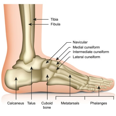 Medical illustration showing the bones of the foot and ankle