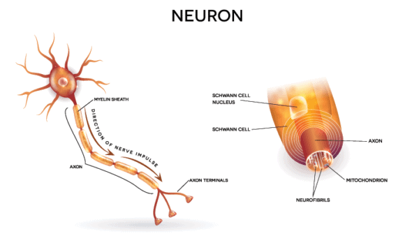 Medical illustration showing a close up of nerve cell and the sheath that surrounds it