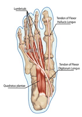 Medical illustration showing the anatomy of the human foot from the bottom