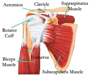 Shoulder Replacement Recovery: Rotator Cuff Damage the ...