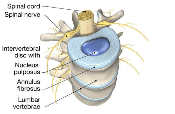 Medical illustration showing a portion of the spine and the anatomy of a disc