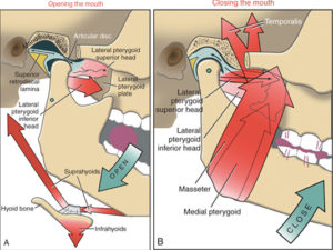 function-of-tmj-muscles