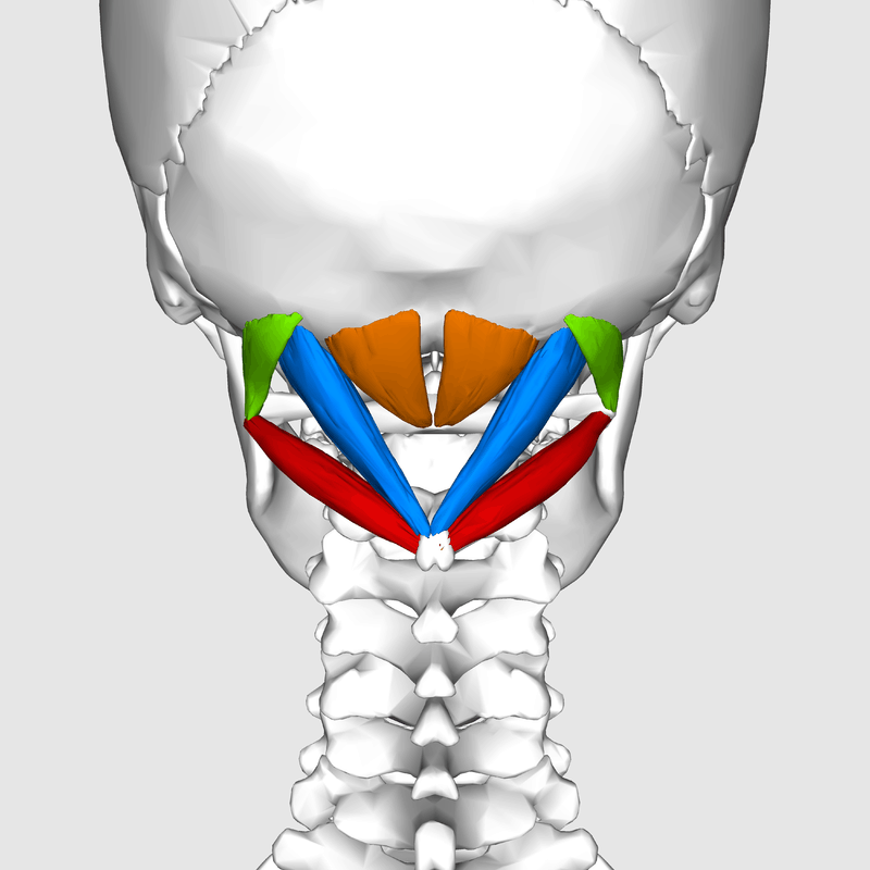upper neck muscles