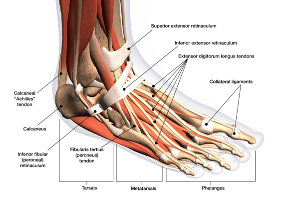 Labeled medical illustration of the foot tendon and ligament anatomy