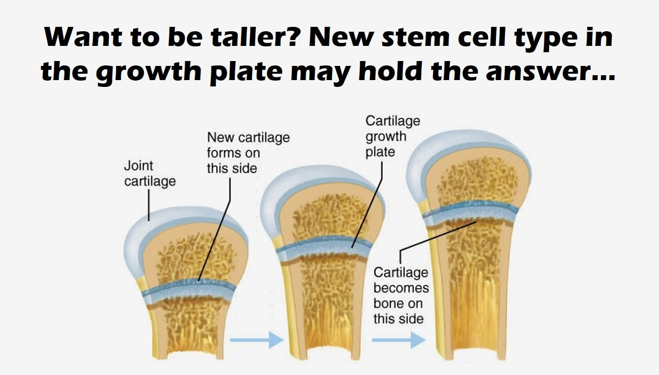 Skeletal Stem Cells Found Living In The Growth Plates May