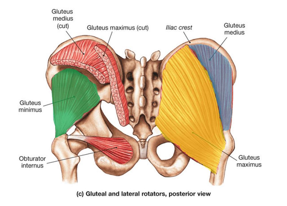 butt muscle anatomy