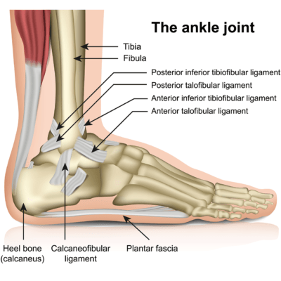 Medical illustration showing the anatomy of the anjle joint with ligaments labeled