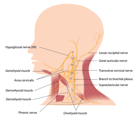 Medical illustration showing the cervical plexus - nerves, bones and muscles of the neck and head