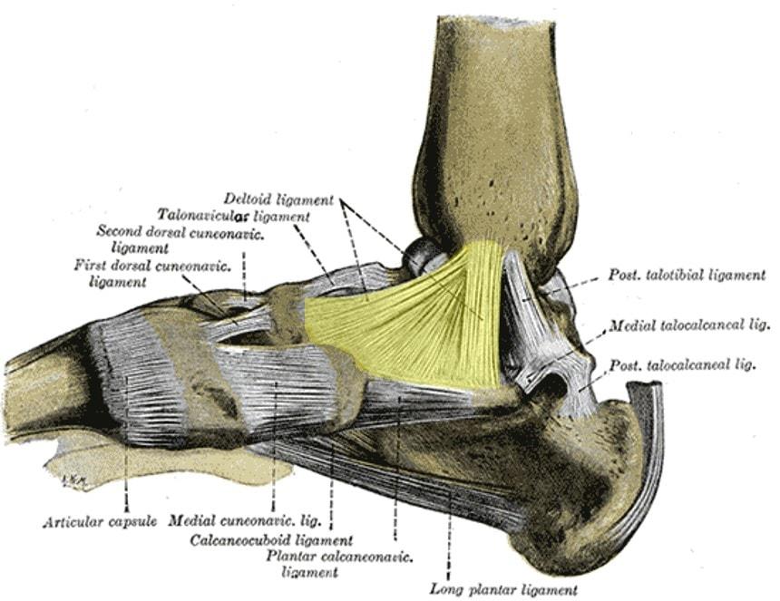 deltoid ligament injury 2