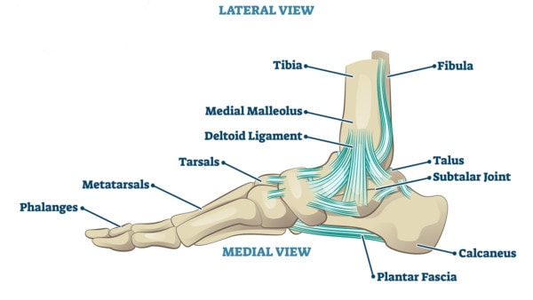 Illustration of a cross section of the ankle with phalanges, tibia, tarsals, and ligaments