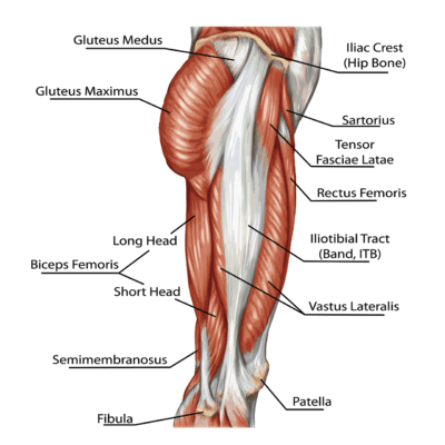 Medical illustration of a side view of the leg showing the muscles from hip to knee