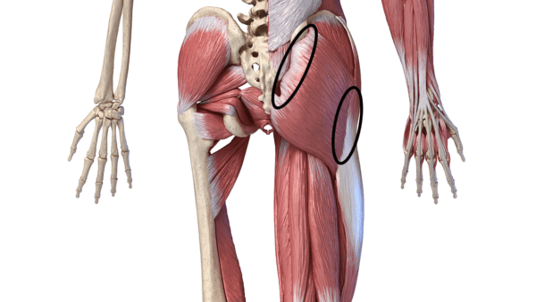 Back view of the muscular system from the waist to the bottom of the thigh. Areas mentioned in the text are circled.