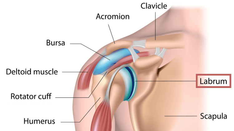 Shoulder joint anatomy highlighting the labrum